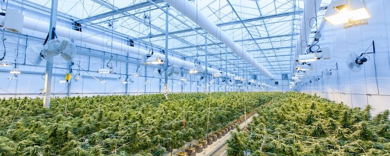 Proven Ways to Increase Cannabis Yields | GrowHigher